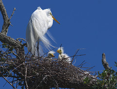 GREAT EGRET WITH TWO CHICKS (postman325111) Tags: birding bird egret waterbird wetlands nature naturephotography hike rookery