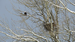 The Calm Between the Storms (shesnuckinfuts) Tags: americanbaldeagle baldeagle eagle haliaeetusleucocephalus riverbendeagles kentwa shesnuckinfuts february2019 nature wildlife raptor birdofprey nest winter