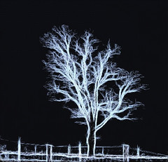 "Photo Series: Trees are Art: ""The ghost tree waits by the fence line for you"" (Ken Whytock) Tags: tree fence white black winter barren leafless ontario"