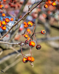 1 Tree Tuesday Rich reds_-2 (Singing With Light) Tags: 2019 27thjanuary a7iii ct foudnersway milford mirrorless singingwithlight sonya7iii street sunday aroundmilford cloudy cool morning photography singingwithlightphotography sony walk