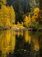 Fall Cottonwood Reflection in Yosemite Valley (Jeff Sullivan (www.JeffSullivanPhotography.com)) Tags: yosemite fall colors photography workshop october 2018 iphone xs mobile phone cellphone camera images iphoneography california usa apple photo copyright jeff sullivan iphonexs shotoniphone reflection landscape nature travel yosemitevalley yosemitenationalpark nationalpark national park mariposa county