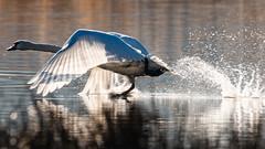 Röllingwiesen2-2019-3292 (clickraa) Tags: swans schwäne röllingwiesen schwerte westhofen ruhr ruhrtale