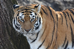 Siberian tiger - Zoo Parc Overloon (Mandenno photography) Tags: animal animals dierenpark dierentuin dieren tiger tigers siberische siberian bigcat big cat cats tijgers nature zoo parc zooparc overloon natgeo natgeographic animalplanet