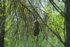 One of the featured nests to look for in early spring (reifelbirdsanctuary) Tags: psaltriparusminimus bushtit bushtitnest georgecreifelmigratorybirdsanctuary reifelbirdsanctuary fraserriverdelta fraserriverestuary britishcolumbia ladner delta nesting coastal