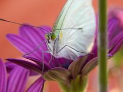 ¡Ay mariposa!, tú eres el alma de los guerreros que aman y cantan...                                                   Mariposas                                                S. R. Leptophobia aripa. (amaury mtz) Tags: macro mariposas mariposa naturaleza vida blanco alas flor flowers butterfly insecto nikon