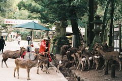 Take this! (GingerKimchi) Tags: nara osaka japan travel nature asia film 35mm fujifilm canon deer canona1 2019 spring february march