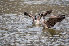 FM5A0249 (Kemp Davis) Tags: wildlife nature aquaticbird canadagoose