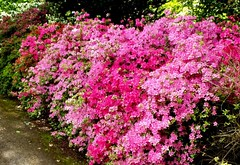 something to look forward to (ericy202) Tags: azaleas blooming pink sandringham house garden