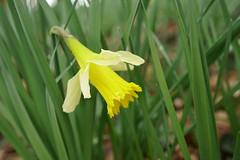 Deux petites gouttes... (passionpapillon) Tags: macro fleur flower printemps goutte drop bokeh jonquille jaune yellow passionpapillon 2019
