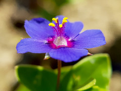 Lysimachia arvensis variedad caerulea (Pedro Muñoz Sánchez) Tags: lysimachia arvensis caerulea flor nature macro macrofotografía