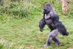 The Walk (Maskedmarble) Tags: devon zoo paignton gorilla lowland