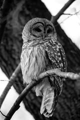 Barred Owl (-SOLO--) Tags: barredowl strixvaria winter crazytuesday blackwhite