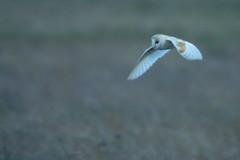 DSC04235 - Barn Owl (steve R J) Tags: barn owl wallasea island rspb reserve essex birds british