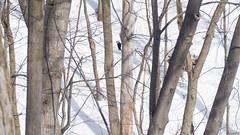 Grand Pic dans le boisé - Pileated Woodpecker, Québec, Canada - 0022 (rivai56) Tags: parc du boisdecoulonge grandpic boisé pileatedwoodpecker québec canada 0022