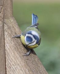 Blue Tit (MJ Harbey) Tags: bluetit cyanistescaeruleus animalia aves passeriformes passerine paridae cyanistes sandy bedfordshire rspb rspbsandy thelodgesandy nikon d3300 nikond3300