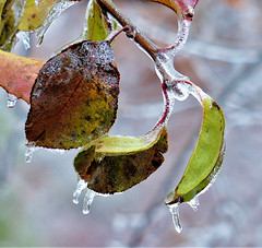 leaves with ice (sharon'soutlook) Tags: leaves leaf ice icedrops icecoating winter icestorm green
