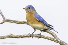 Eastern Bluebird IMG_4023 (ronzigler) Tags: thrush songbird nature birdwatcher avian wildlife bluebird eastern bird watcher