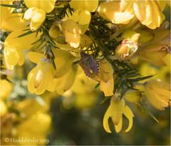 Hairy Shieldbug (Huddsbirder) Tags: huddsbirder fe70300mm a6500 sony hairy shieldbug oldmoor rspb
