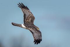 _KEF8325 (Kevin E Fox) Tags: grayghost northernharrier male lawrenceville newjersey polefarm bird birding birdwatching birds birdofprey nature nikond500 nikon sigma150600sport sigma