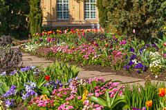 Voll in Blüte (KaAuenwasser) Tags: blüten blumen pflanzen frühling tulpen gänseblümchen osterglocken stiefmütterchen botanischergarten gebäude fenster garten anlage beet beete bunt farben