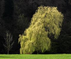 Freuweide (das frühlingshafte Gegenstück zur Trauerweide 😉) (Pippilotta aus dem Tal) Tags: sel90m28g