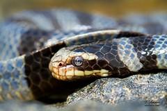 Yellow Lipped Sea Krait Macro (TRAdamson Photography) Tags: komodo island indonesia reptiles reptilephotography reptile snake snakes krait seakrait elapid elapidae