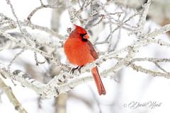 Red on White (david.horst.7) Tags: bird nature wildlife cardinal tree branch white poplar