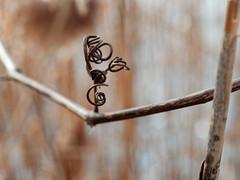 Curlicue (fotofish64) Tags: cattail plant flora branch nature earthy curlicue bokeh shallowdepthoffield depthoffield pentax pentaxart ks2 kmount pentaxsupertakumar55mmf2lens vintagelens manualfocuslens m42mount