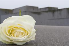 In Gedenken (JaMu98) Tags: mahnmal berlin geschichte germany gedenken weiserose rose holocaust