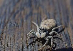 Araña Lobo. (Alfredo.5) Tags: animales alfredo5 agua nikon nikond5100 nikond60 nikons9900 naturaleza vegetación verde araña caracol macro aproximación