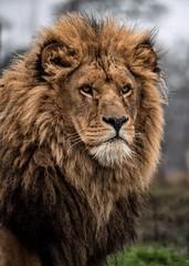YWP: Lion Portrait (Adrian.W) Tags: flickrbigcats bigcat mammal animal fur feline predator ywp yorkshirewildlifepark doncaster yorkshire panasonic lumix lumixgx9 gx9 100300mm micro43 mirrorlesscamera lion lionportrait