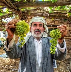 زراعة العنب اليمني تكاد تختفي في أهم معاقلها.. تقرير خاص (nashwannews) Tags: العنب العنباليمني اليمن صعدة صنعاء وزارةالزراعة