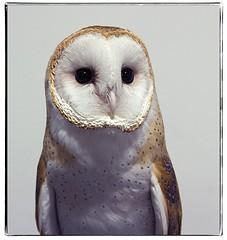 Barn Owl. #photography #photooftheday #photoadaychallenge #project365 #canon7d #canon2470mm #owl #littleraysnaturecentres (PSKornak) Tags: photography photooftheday photoadaychallenge project365 canon7d canon2470mm owl littleraysnaturecentres barnowl bird calgary alberta canada