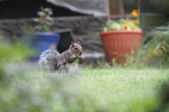 Oct2018Squirrel (Phil John (Swansea)) Tags: canon7d squirrel greysquirrel wales swansea straightfromcamera