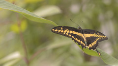 Giant swallowtail ( Papilio cresphontes ) (- A N D R E W -) Tags: giant swallowtail butterfly mariposa macro nature naturaleza bokeh leaves branches tamron 90mm f28
