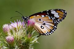 Common Tiger Butterfly (Uhlenhorst) Tags: 2013 australia australien animals tiere plants pflanzen blossoms blüten travel reisen ngc