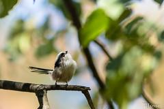20180908_Vincennes_Mésange à longue queue-3 (thadeus72) Tags: aegithalidae aegithalidés aegithaloscaudatus aves birds longtailedtit mésangeàlonguequeue oiseaux passériformes