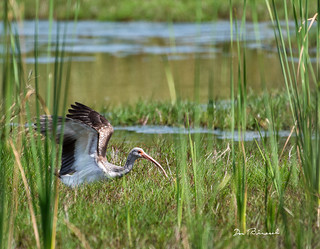 Wood Stork-Emerson Preserve Palmetto Florida
