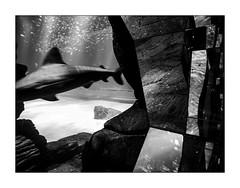 De l'autre côté. (Scubaba) Tags: europe france pasdecalais noirblanc noiretblanc bw blackwhite monochrome requin shark