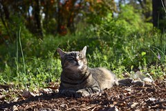Camille sniffing the breeze. (rootcrop54) Tags: camille female mackerel tabby cat uppergarden lateafternoon sun neko macska kedi 猫 kočka kissa γάτα köttur kucing gatto 고양이 kaķis katė katt katze katzen kot кошка mačka gatos maček kitteh chat ネコ