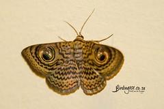 Wavy Owl, Satara, Kruger National Park, Jan 2019 (roelofvdb) Tags: 2019 calliodespretiosissima date january knp moth mothsofsafrica place satara wavyowl year