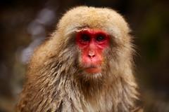Monkey (Vera Rong Wang) Tags: japan monkey monkeyonsen jigokudani 地獄谷野猿公苑 nagano 長野