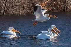 20190408-DSC_7237.jpg (GrandView Virtual, LLC - Bill Pohlmann) Tags: bird americanwhitepelican wisconsin wildlife waterfowl stcroixriver northhudsonwi
