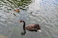 Duck (tenfas.apk) Tags: ロンドン イングランド イギリス gb