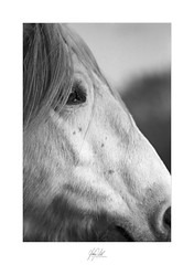 Up close horse profile (AnthonyCNeill) Tags: horse pferd caballo cheval profile portrait upclose closeup face eye detail sharp focus equine equestrian 35mm film carrete analog análogo black white schwarz weiss weis schwarzweis blanco negro noir blanc bianco nero monochrome greyscale grayscale shallowdof shallowdepthoffield bokeh catchlight dynamicsymmetry ruleofthirds fullframe nikon slr