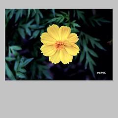Aldrin_Iglesias_2019_15 (aldrin_iglesias) Tags: rioacimamg brasil brazil flor flower amarelo yellow