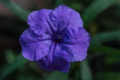 Ruellia (ACEZandEIGHTZ) Tags: ruellia flower macro closeup nikon d3200 purple mexicanpetunia bokeh
