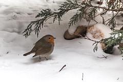 Das Rotkehlchen (Erithacus rubecula) (wb.fotografie) Tags: tiere vögel rotkehlchen robin singvogel