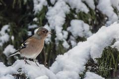 Mr Chaffinch (pollylew) Tags: chaffinch bird malebird winter snow