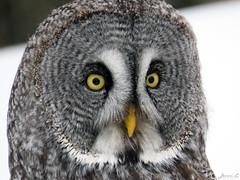 Bea Great Gray Owl CRC IMG_3196 (Jennz World) Tags: ©jennifermlivick canadianraptorconservancy vittoria ontario canada greatgrayowl greatgreyowl owl raptor bird winter snow